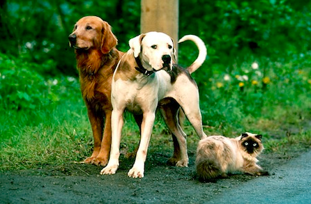 The characters of Disney's Homeward Bound: The Incredible Journey. Chance (center) is voiced by David J. Goldfarb. Copyright: Disney